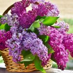 Growing Lilacs in Your Garden