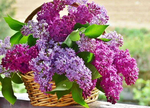 Growing Lilacs in Your Garden