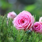 Grow the Perfect Rosebush
